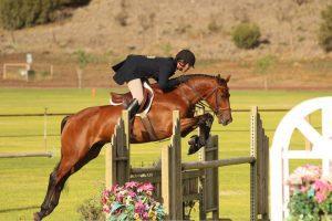 warmblood horses for sale