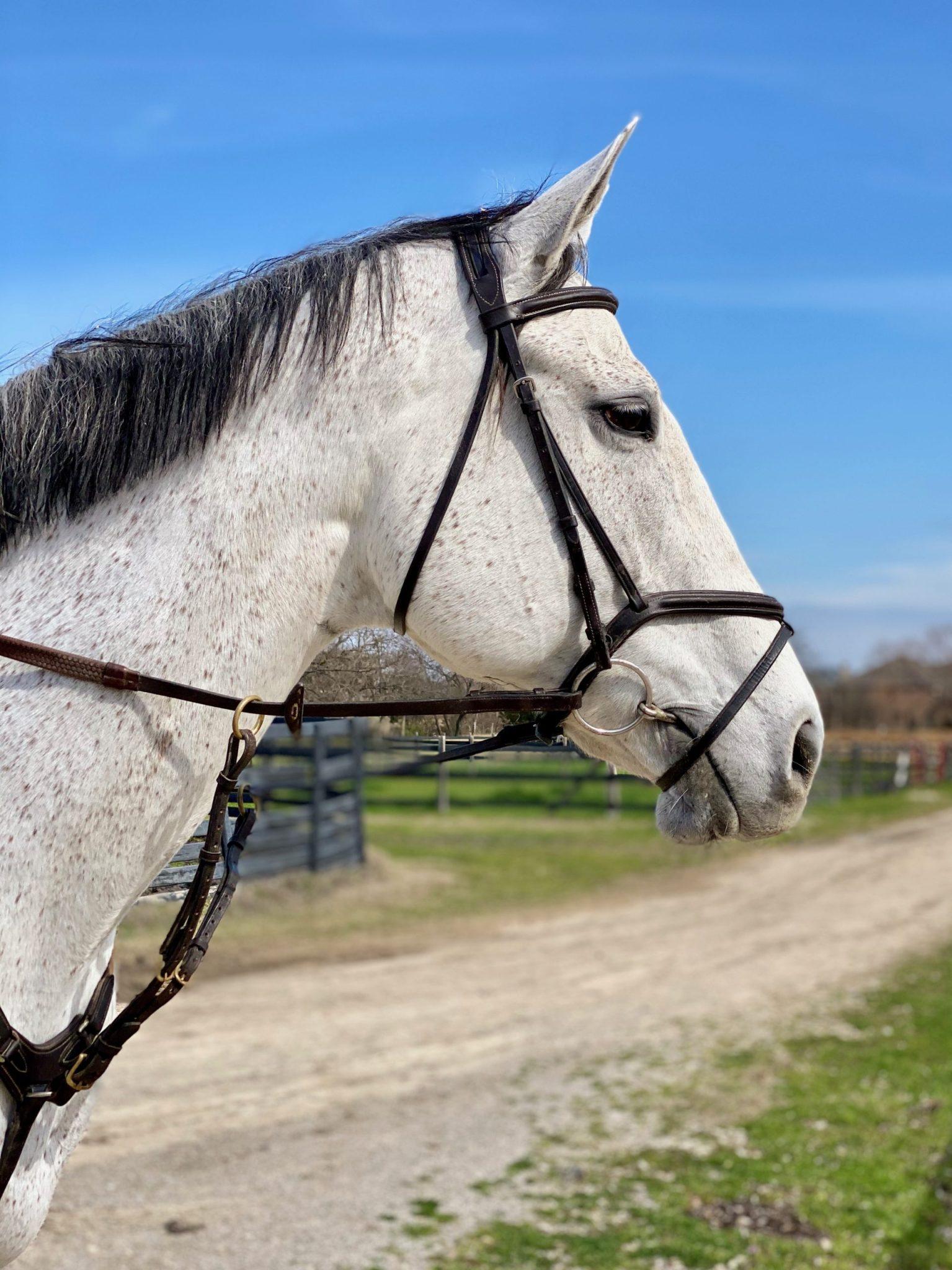 Jumper Horses For Sale Houston
