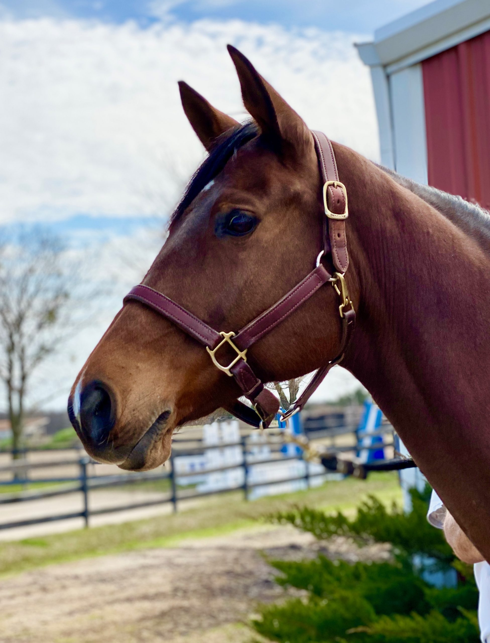 Hunter Jumper Horses for Sale