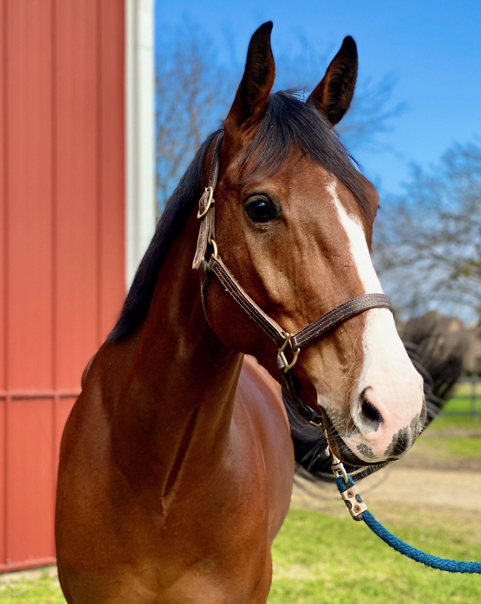 Warmblood Horse Imports Forth Worth