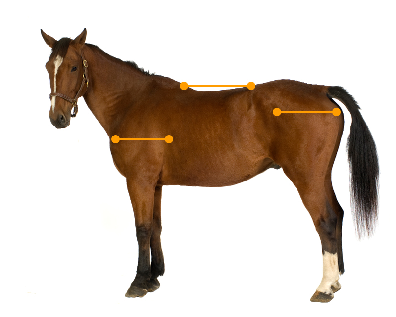 Shoulder-hip-back ratio (1:1:1)